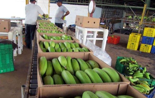 exportaciones-banano