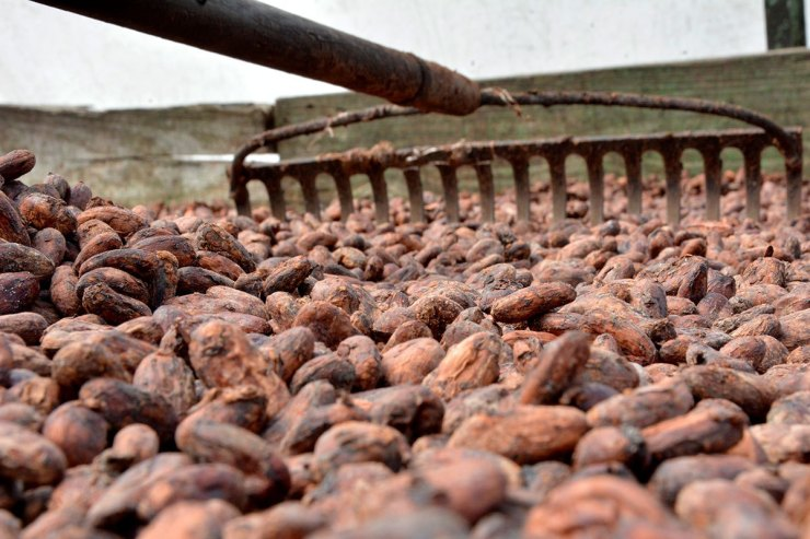 cacao-dominicano-1 (2).jpg